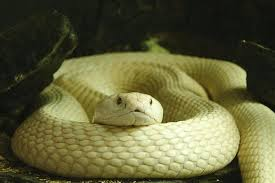 serpiente amarilla